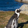 Cape Peninsula Tour : We hired a car and driver to take us on a tour of the Cape for a day.  Highlight was definitely the penguins at Boulder's Beach !