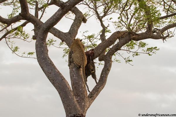 Leopard climbing