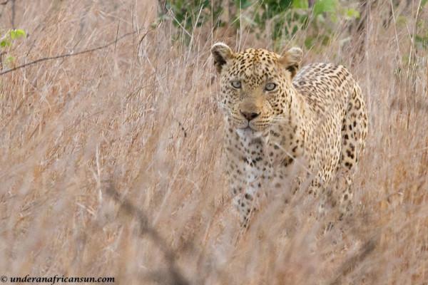Leopard Approaching